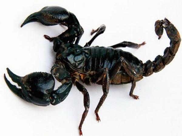 Nằm mơ thấy bọ cạp nên đánh xổ số con gì may mắn