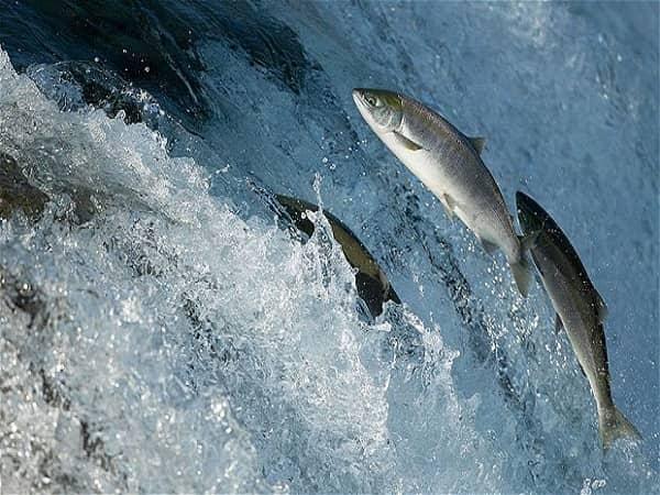 Mơ thấy cá hồi có điềm báo gì? đánh con số nào?